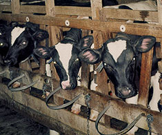 Male calves raised for veal are confined in individual stalls (Farm Sanctuary).