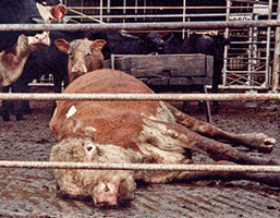 Downed cow with calf