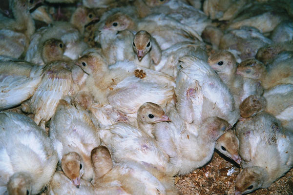 Turkey poults on a free-range farm (EBAA)